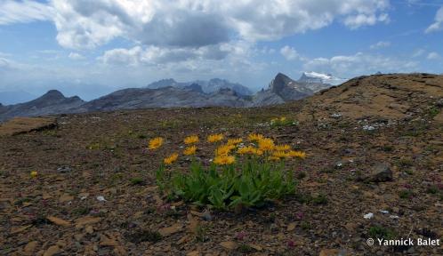 Fleurs alpine  © Yanbal