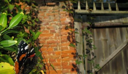 papillon © vanessa-atalanta_bfontaine-mnhn